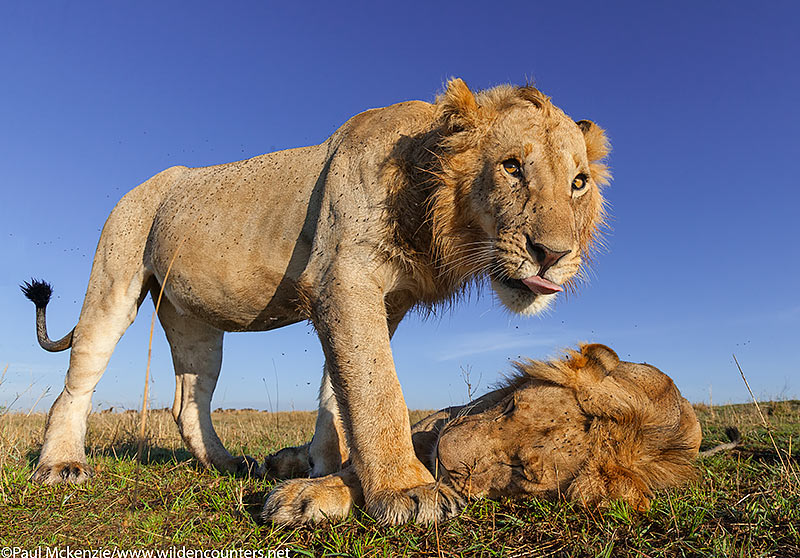 Two sub-adult male lions, close-focus, wide-angle, Masai Mara, Kenya