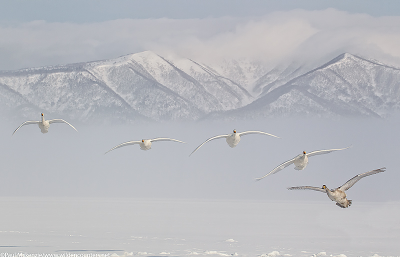 Whooper Swans flying into land on frozen lake, Lake Kussharo, Japan