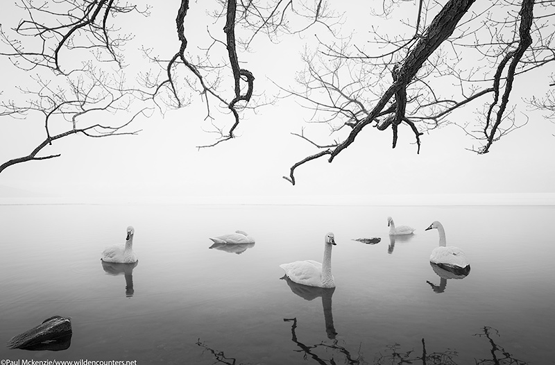 with selection Whopper Swans at dawn on frozen lake opening under overhanging branches, Lake Kussharo, Hokkaido, Japan_74A7770 {J}