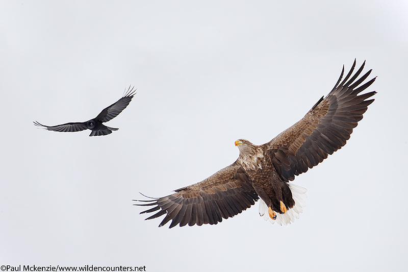 1. White-Tailed Eagle and Crow in flight, Eastern Hokkaido, Japan