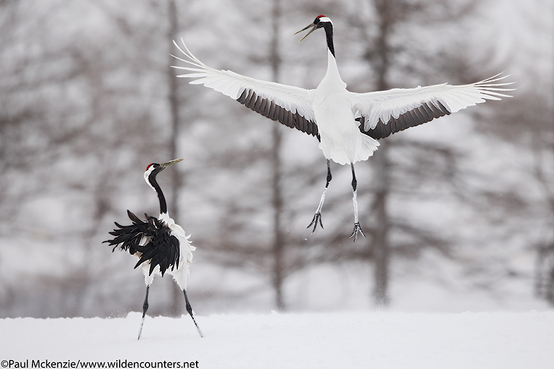 10. Red Crowned Cranes courtship dance #3, Hokkaido, Japan_90R3499 {J}