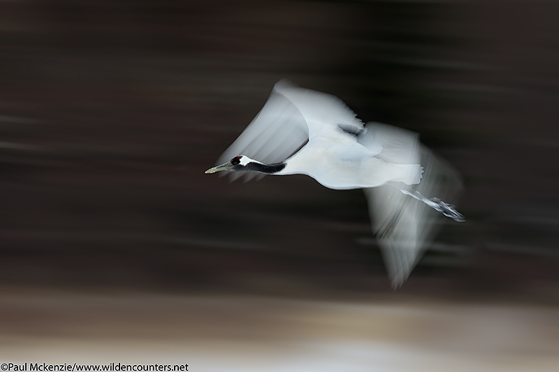 14, Red Crowned Crane flying, with motion, Hokkaido, Japan_90R6077 {J}