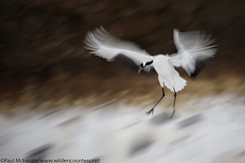 15. Red-Crowned Crane landing, with motion, Hokkaido, Japan