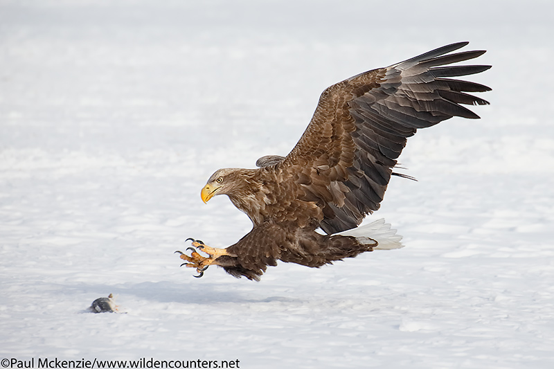 2. White-Tailed Eagle about to snatch fish, Eastern Hokkaido, Japan
