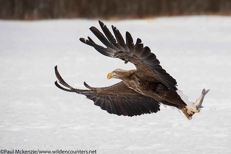 3. White-Tailed Eagle snatching fish, Eastern Hokkaido, Japan