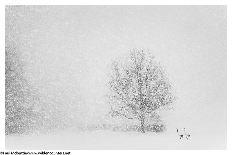 4. Red-Crowned Cranes in snow blizzard, Eastern Hokkaido, Japan