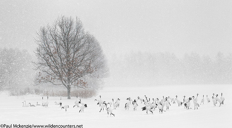 6. Red-Crowned Cranes and Whooper Swans feeding as snow falls, Eastern Hokkaido, Japan