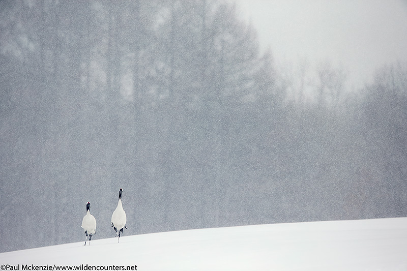 7. Red-Crowned Cranes walking over the crest of an undulating snow-covered field as snow falls, Eastern Hokkaido, Japan