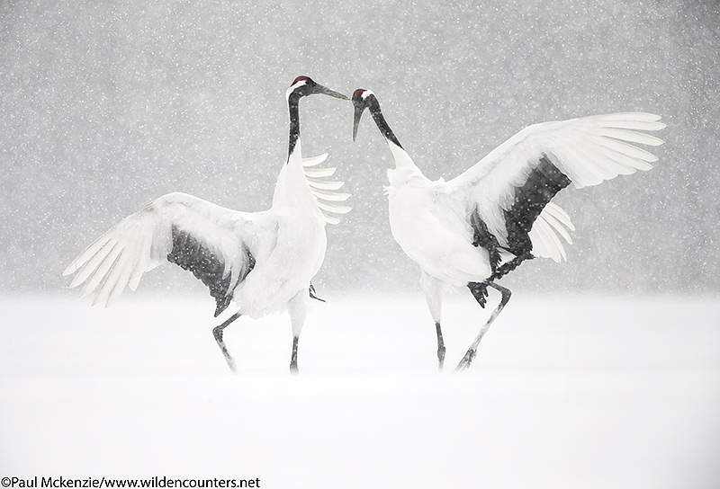 8. Red-Crowned Crane courtship dance, Eastern Hokkaido, Japan