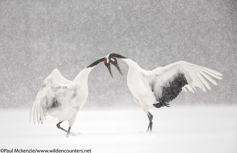 9. Red Crowned Crane courtship dance, Hokkaido, Japan_90R2395 {J}