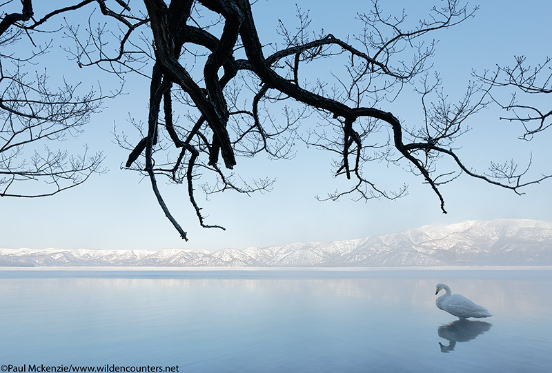 17. Whooper Swan at dawn, Lake Kussharo, Japan
