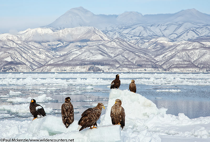 23. Steller's Sea Eagles and White-Taile Eagles on pick-ice outside of the port of Rausu, Hokkaido, Japan