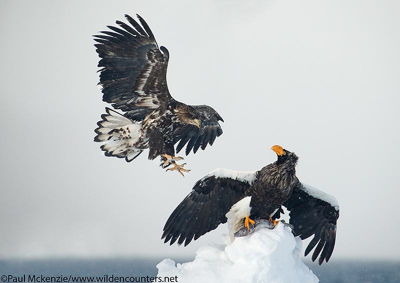 25. Adult Steller's Sea Eagle perched on pack ice pinnical holding fish as a juvenile approaches, Sea of Okhotsk, Hokkaido, Japan