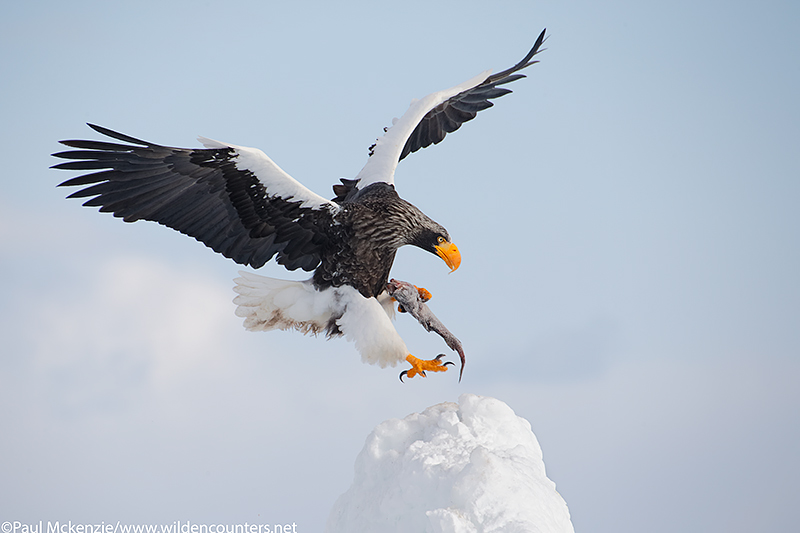 25. Steller's Sea Eagle with fish, landing on pack ice pinnacle, Sea of Okhotsk, Hokkaido, Japan