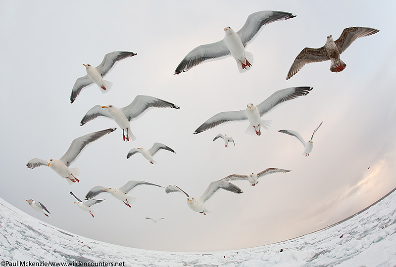 26. Fish-eye view of Slaty-Backed and Glaucous-Winged Gulls over the pack-ice, Sea of Okhotsk, Hokkaido, Japan