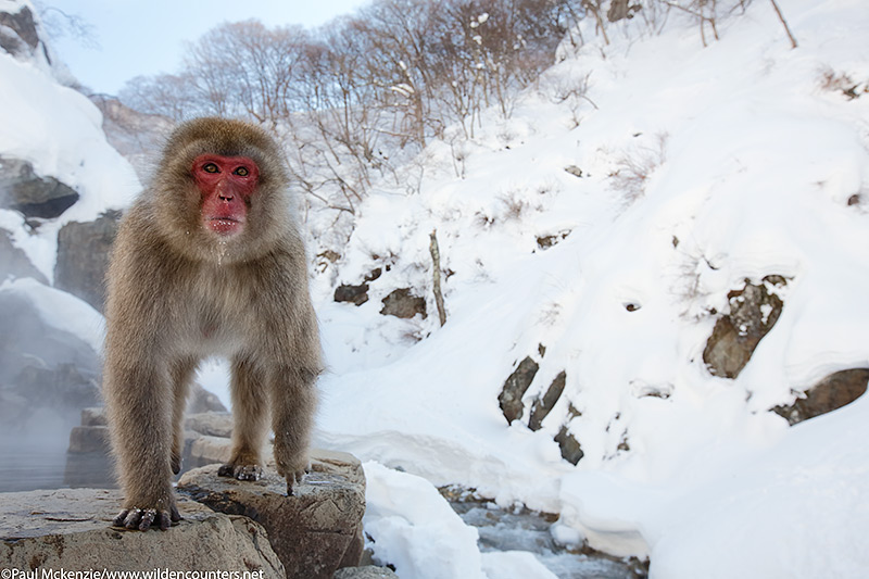 27. Japanese Macaque standing on the edge of outdoor hotspring, Jigokudani, Japan