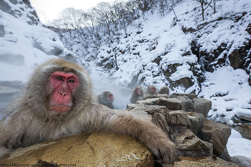 28. Japanese Macaque in outdoor hot spring, Jigokudani, Japan