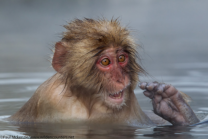 29. Juvenile Japanese Macaque in outdoor hotspring, Jigokudani, Japan