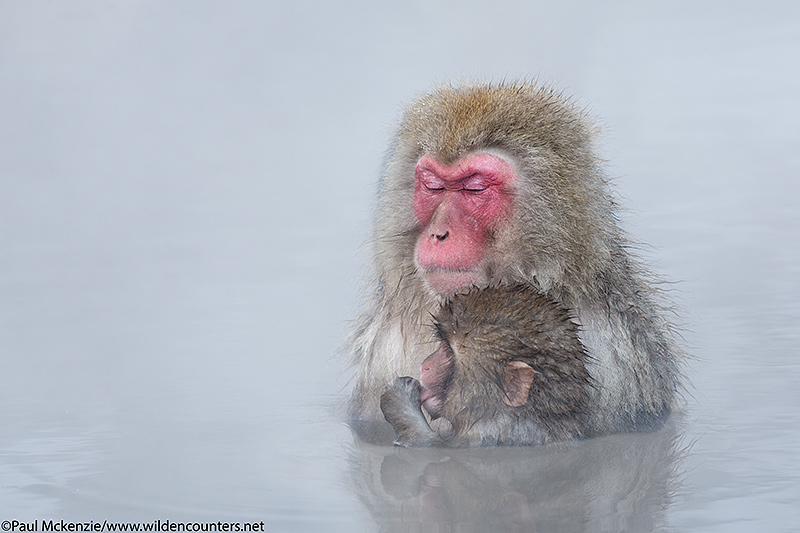30. Adult and juvenile Japanese Macaque in outdoor hotspring, Jigokudani, Japan