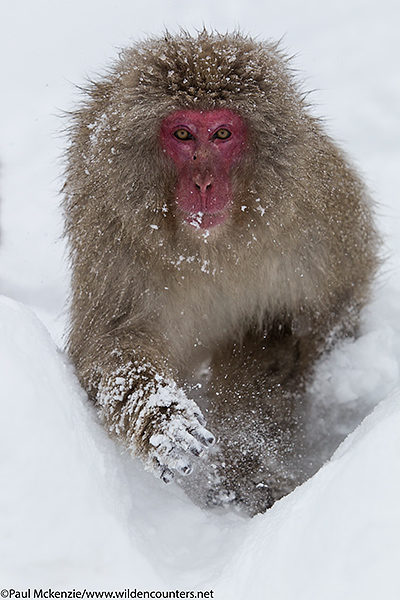 33. Japanese Macaque running through snow, Jigokudani, Japan