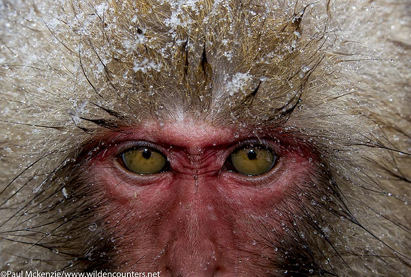 34. Japanese Macaque face close-up with head fur covred in snow, Jigokudani, Japan