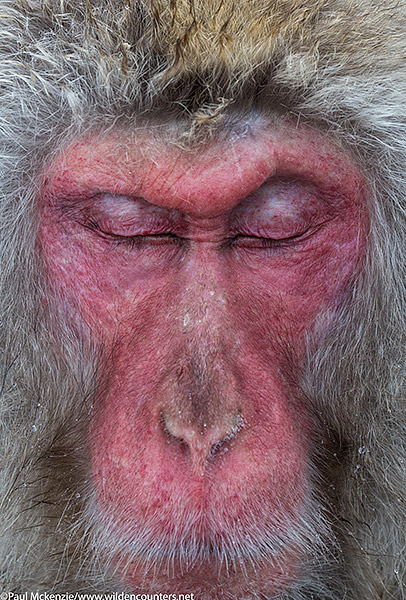 35. Adult Japanese Macaque sleeping, portrait, Jigokudani, Japan (2)