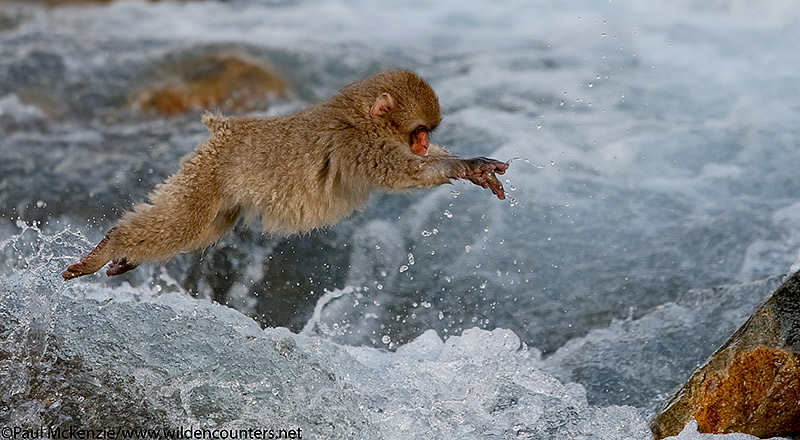 37. Juvenile Japanese Macaque jumping across river, Jigokudani, Japan_90R5014 {J}