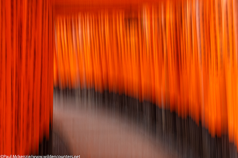 39b Vermillion Shinto shrine gates blur, Fushimi Inari Taisha, Kyoto, Japan