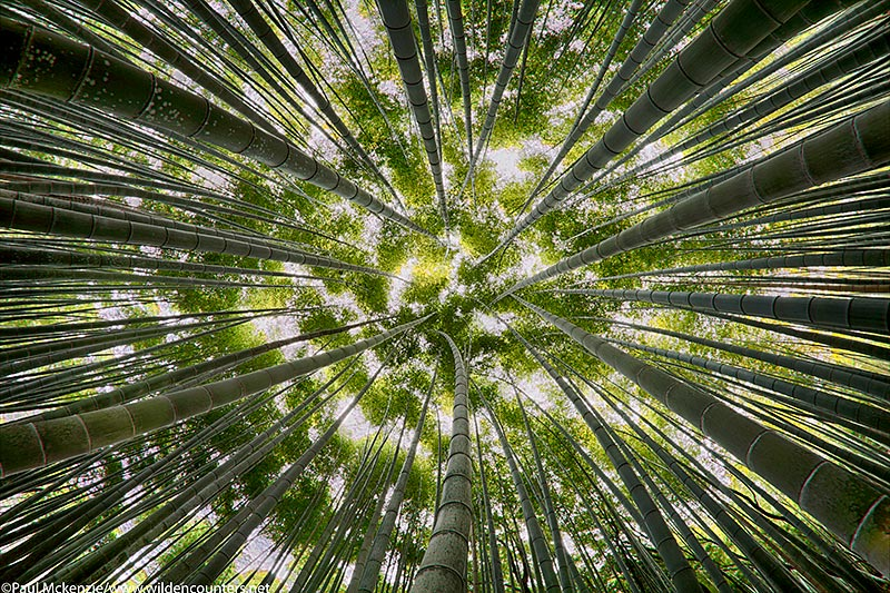 52. Bamboo grove fish-eye, Arashiyama, Kyoto, Japan