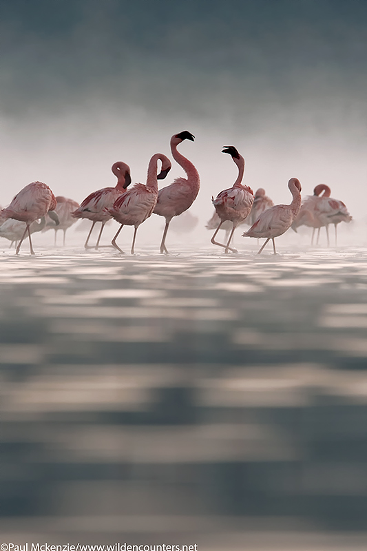 52. Flamingos in the mist