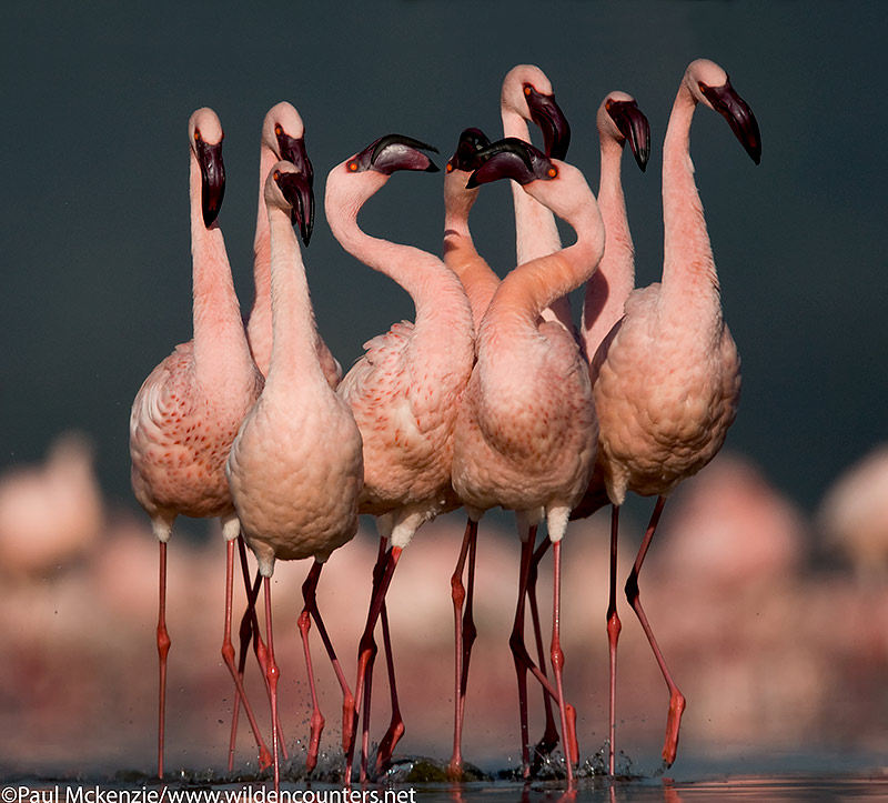 54. Lesser Flamingo group walking, Lake Nakuru, Kenya