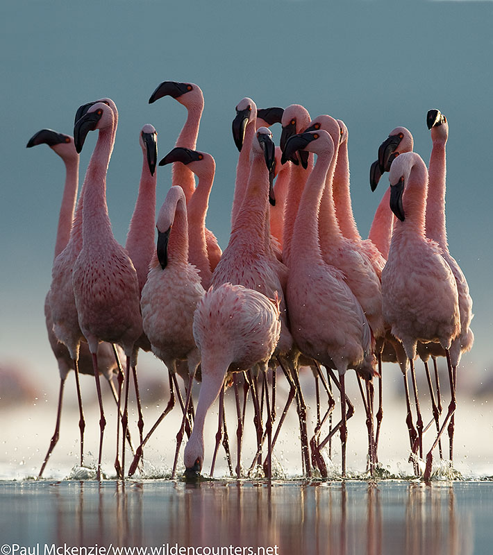 55. Lesser flamingo group walking together, Lake Nakuru, Kenya