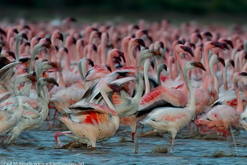 57. Lesser Flamingos at dusk (motion, flash), Lake Bogoria, Kenya