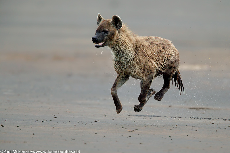 58. Running hyena captured in mid-air, Lake Nakuru, Kenya