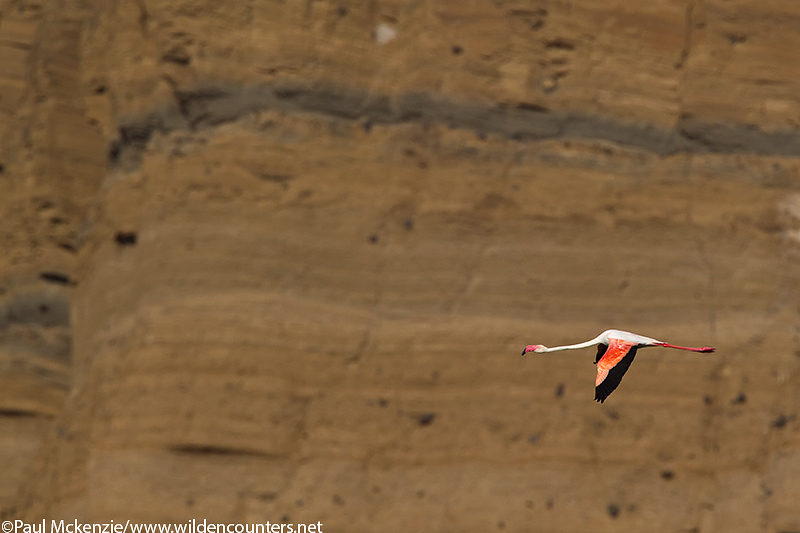 63. A solitary Greater Flamingo flys past the crater wall of Flamingo Crater Lake, Central Island, Lake Turkana