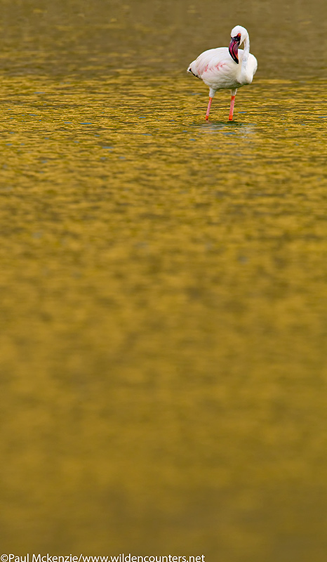 64. Lesser Flamingo standing in golden reflected water, Flamingo Crater Lake, Central Island, Lake Turkana, Kenya