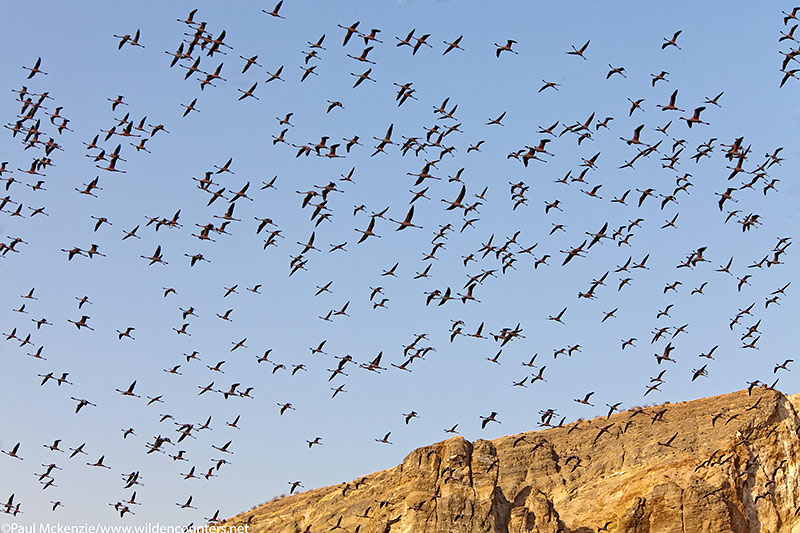 65. Lesser Flamingos flying over the crater walls of Flamingo Crater Lake, Central Island, Lake Turkana, Kenya