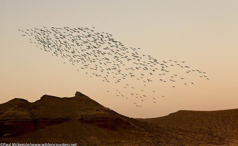 67. Lesser Flamingos flying over crater walls at dusk, Flamingo Crater Lake, Central Island, Lake Turkana, Kenya