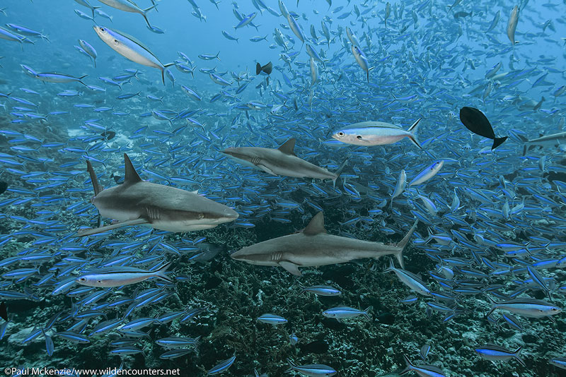 14 Grey Reef Sharks swimming among Dark Banded Fusiliers, Fakarava, Tahiti Web Prepared