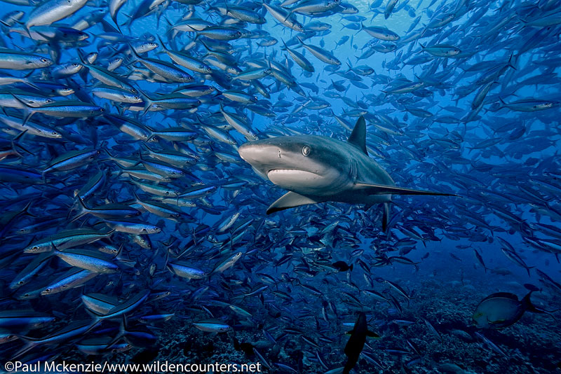 16 Grey-Reef-Shark-swimming-among-schooling-Dark-Banded-Fusiliers-attracted-by-Camouflage-Grouper-spawn,-Fakarava,-Tahiti-Web-Prepared
