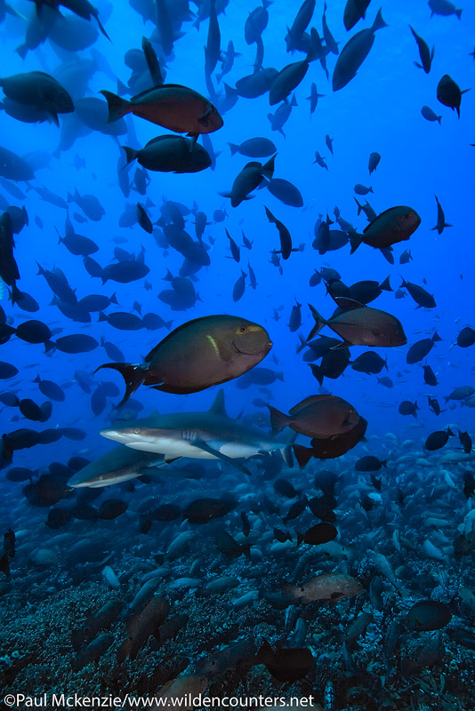 18 Grey-Reef-Sharks-among-spawning-Yellowfin-Surgeon-fish-with-Camouflage-Grouper-aggregation-on-the-reef-floor,-Fakarava,-Tahiti-Web-Prepared