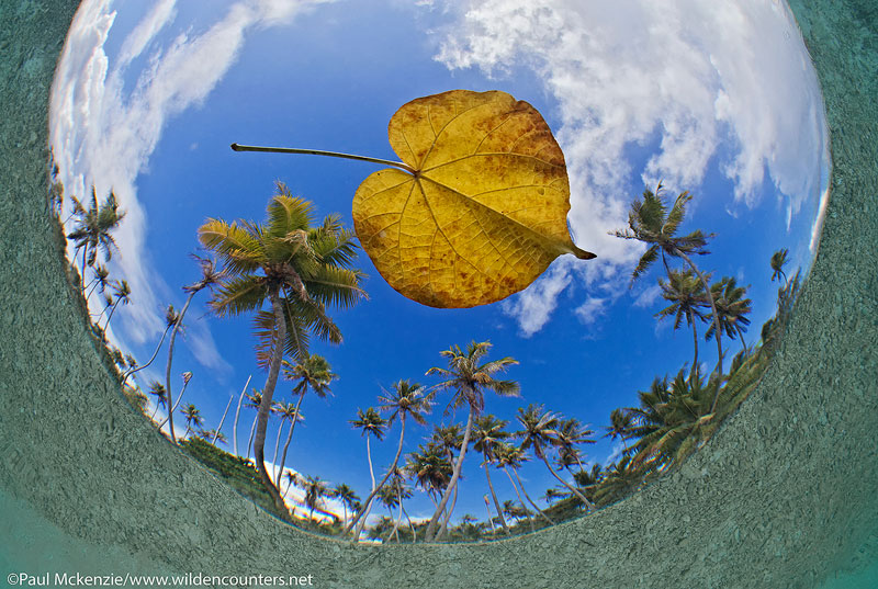20 Fish-eye,-underwater-view-of-floating-leaf-with-coconut-palms-in-the-background,-Fakarava,-Tahiti-Web-Prepared