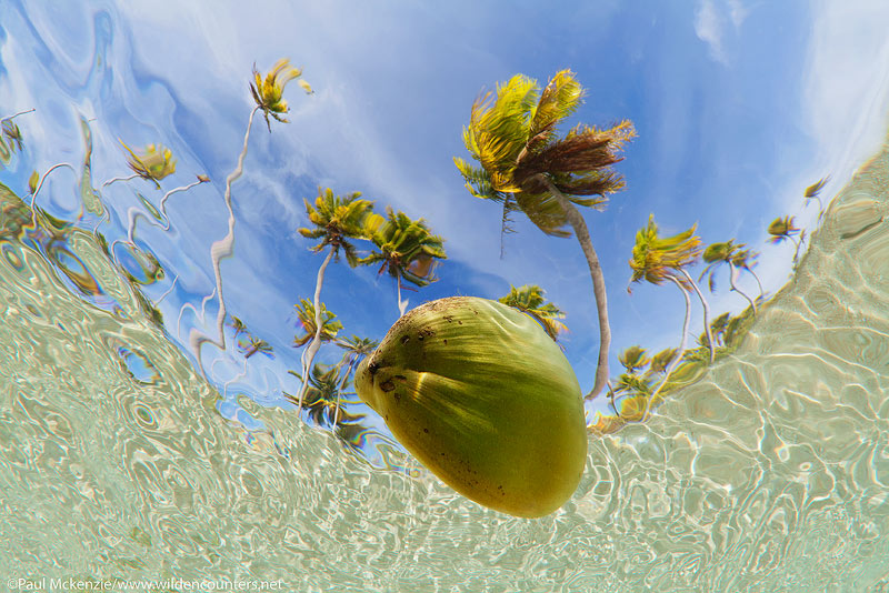 22 Underwater-view-of-coconut-floating-in-shallow-water-lagoon-with-coconut-palms-in-the-background,-Fakarava,-Tahiti-Web-Prepared