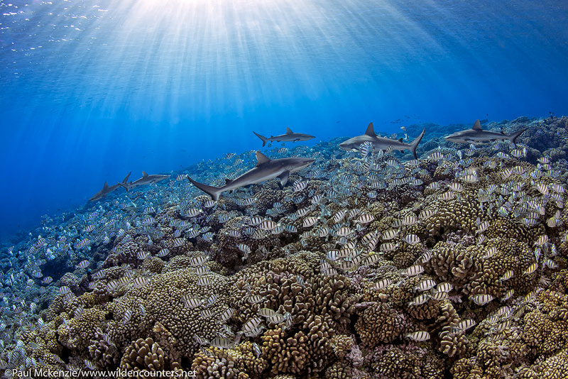 28 Grey-Reef-Sharks-swimming-over-an-aggregation-of-Convict-Surgeonfish,-Fakarava,-Tahiti-Web-Prepared