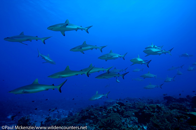 29a Grey-Reef-Sharks,-Wall-of-Sharks,-South-Pass,-Fakarava,-Tahiti-Web-Prepared
