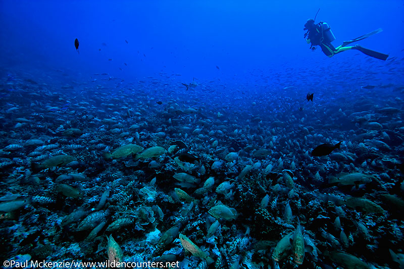 2a Diver with huge aggregation of Camouflage Groupers, Fakarava, Tahiti