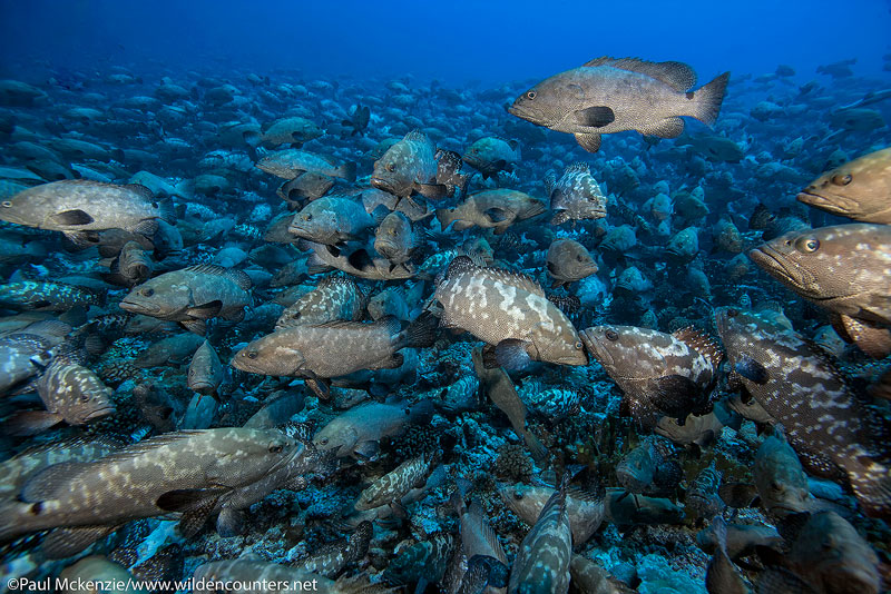 3. Huge aggregation of Camouflage Groupers, Fakarava, Tahiti