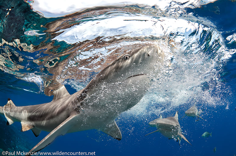 31 Close-focus,-wide-angle-view-of-Grey-Reef-Sharks-close-to-the-ocean-surface,-Fakarava,-Tahiti-Web-Prepared