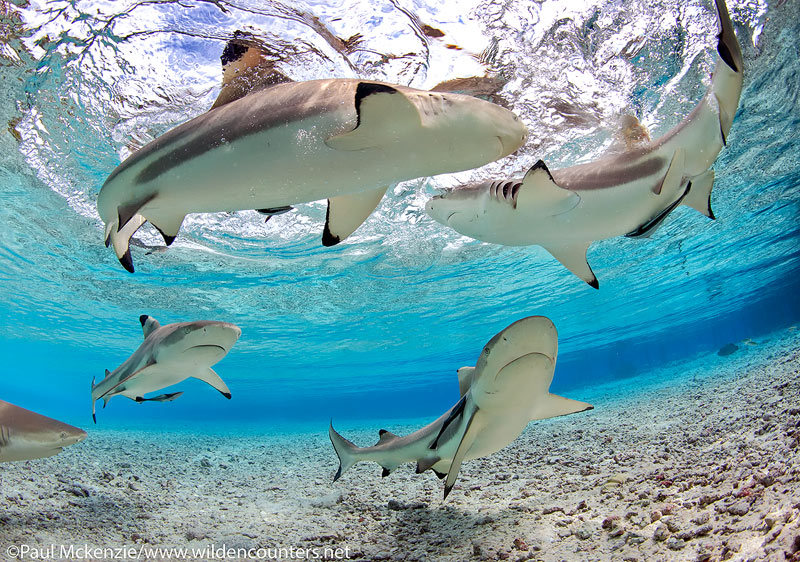33 Grey-Reef-Sharks-swimming-in-shallow-water-lagoon,-Fakarava,-Tahiti-Web-Prepared