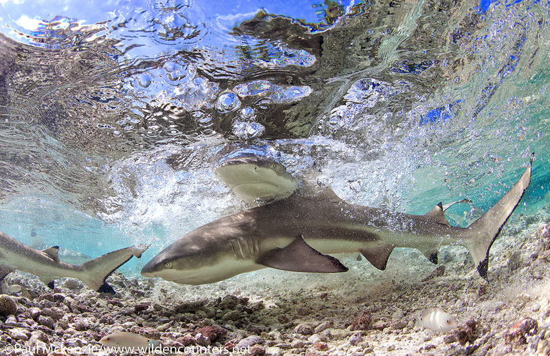 34 Grey-Reef-Sharks-swimming-in-shallow-water-lagoon-#2,-Fakarava,-Tahiti-Web-Prepared